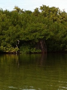 Red mangroves sink their roots into the salt water.