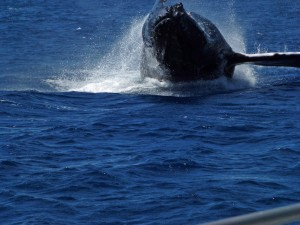 This whale breached about 60 yards off the stern of the snorkeling boat.