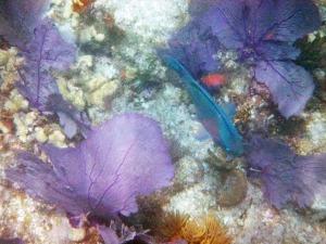 Sea Fans & Parrotfish